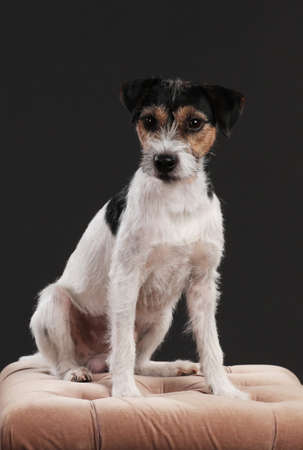 One parson russell terrier dog sitting on a brown velvet bench in front of black background