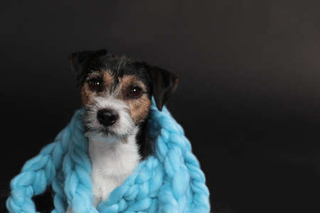 Cute parson russell terrier dog wrapped in blue wool scarf on black background