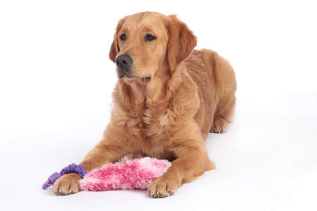 Golden Retriever dog lying on the floor with dog toy isolated Stock Photo