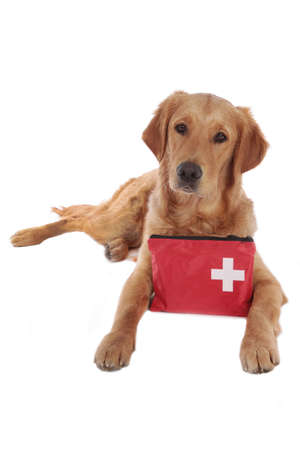 Golden retriever dog with red emergency kit looking at camera lying on white background
