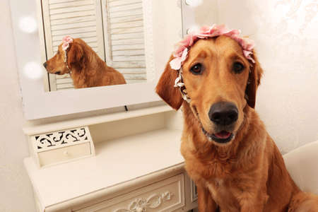 Golden Retriever dog looking at camera with flower headdress in front of a mirror