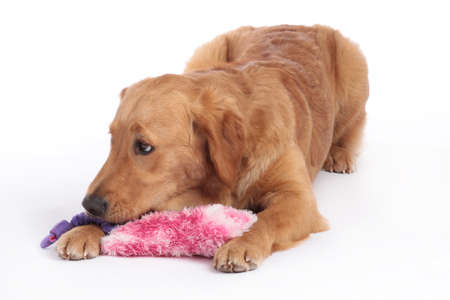 Golden Retriever dog lying down on the floor with dog toy isolated