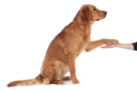 Golden retriever dog lifting his paw to the hand of a human