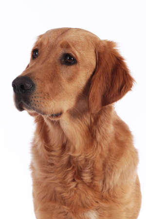 head of a golden retriver dog in front of white background looking at camera
