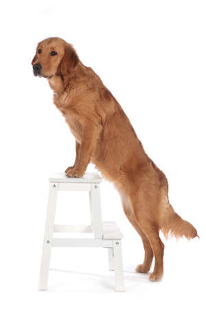 Cute dog standing with front paws on a small white ladder Stock Photo