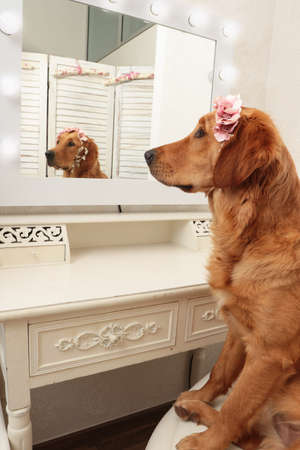 Golden retriever dog with headdress looking in to the mirror