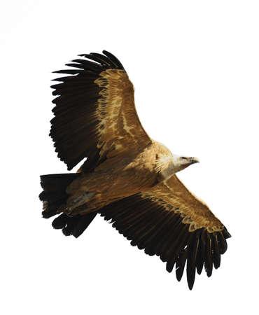 scavenging: griffon vulture
