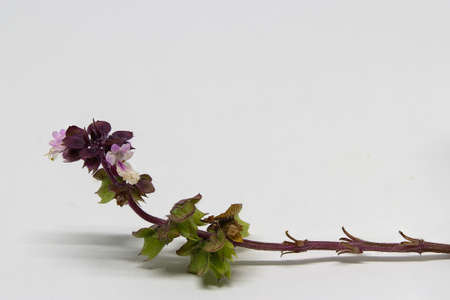 the sprouting: growing branch of basil with flowers Stock Photo