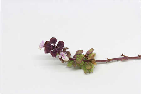 basil fresh branch with seeds buds and flowers
