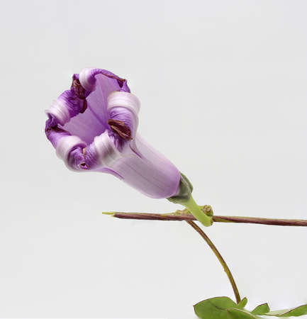 a detailed fording mauve flower Stock Photo