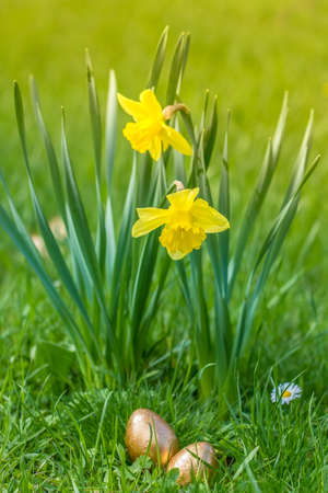 Two narcissi and two golden easter eggs laying in the grass (Narcissus pseudonarcissus) Stock Photo