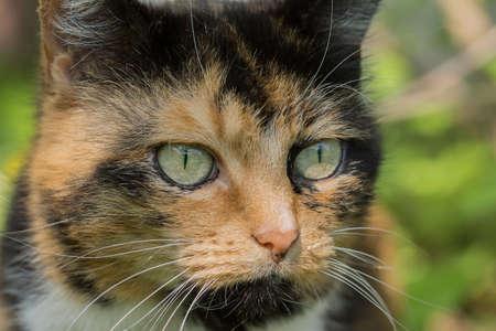 Portrait of a three colored female cat
