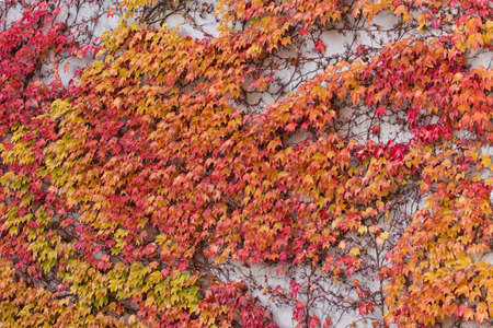 Red, green and orange leaves of parthenocissus tricuspidata veitchii growing on the facade of a biulding. Also called boston ivy, grape ivy, japanese creeper or japanese ivy.