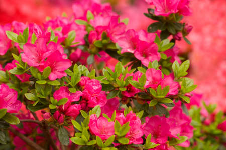Azalea Kuisianum Rauschenstein to mały różowo kwitnący rododendron