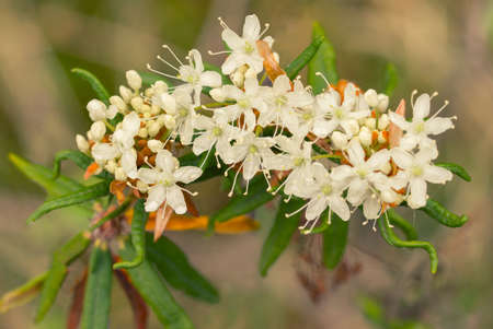 Rhododendron tomentosum (syn. Ledum palustre), commonly known as marsh Labrador tea, northern Labrador tea or wild rosemary, is a flowering plant in the subsection Ledum of the large genus Rhododendron in the family Ericaceae.