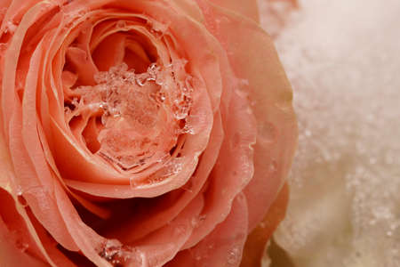 Macro on single frozen pink rose. Funeral arrangement covered in snow. Stock Photo
