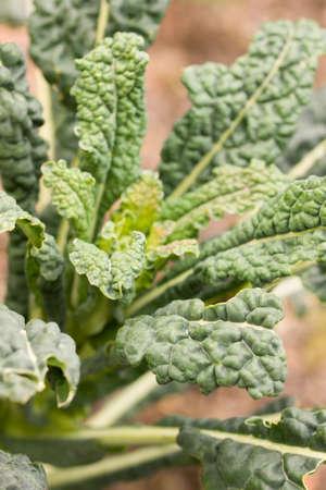 Closeup of kale plant (brassica oleracea var sabellica nero di toscana) growing in a garden in switzerland. Stock fotó
