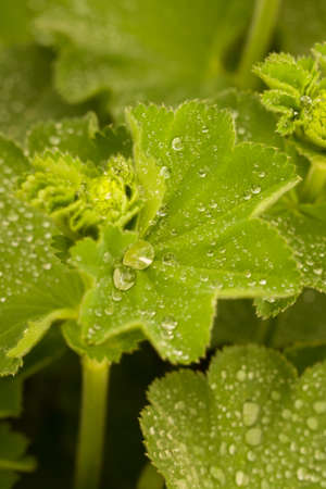 Closeup of the beautiful green Alchemilla mollis plant, covered in Raindrops with blured background and bokeh