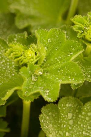 Nahaufnahme der schönen grünen Alchemilla mollis-Pflanze, bedeckt mit Regentropfen mit unscharfem Hintergrund und Bokeh