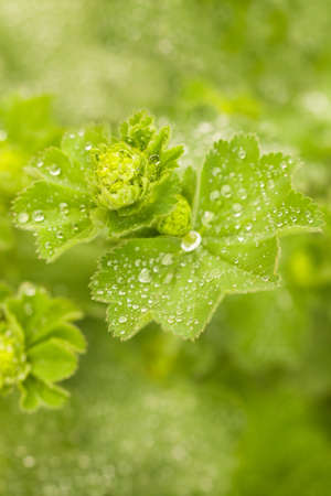Closeup of the beautiful Alchemilla mollis, covered in Raindrops with blured background and bokeh Imagens