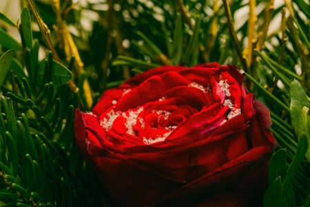 Red rose on a snowy surface on a winter day surrounded by small leaves. Rose in the snow outdoors on a winter day. A flower covered with snow. Stok Fotoğraf