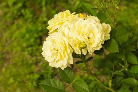 Medium yellow flower among the bushes Archivio Fotografico