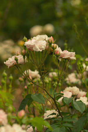 A relatively short climber it is extremely free-flowering and repeats very well. It bears masses of blush pink, small, semi-double, cupped blooms, with yellow stamens, held in tight clusters. They have a rich musky clove fragrance. 1817.