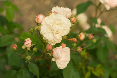 Un trepador relativamente bajo, es extremadamente libre de floración y se repite muy bien. Tiene masas de flores pequeñas, semidobles, ahuecadas, de color rosa ruborizado, con estambres amarillos, agrupados en racimos apretados. Tienen una rica fragancia almizclada a clavo. 1817.