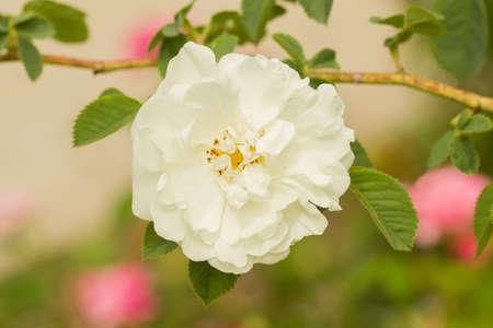 Mezcla blanca o blanca. Fragancia moderada. Forma de floración pequeña, semidoble (9-16 pétalos), en pequeños racimos. Primavera o verano que alguna vez floreció. Brotes de sépalos glandulares.