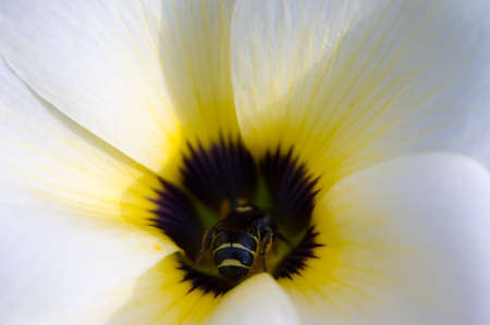 turnera: Beautiful white flower and small be inside, Turnara subulata.