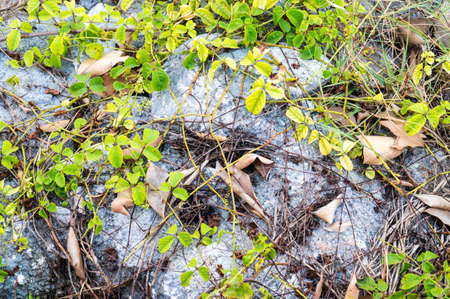 creeping plant: Green creeping plant on white rock and dry leaves