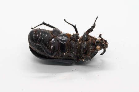 Black beetle isolated on white background.