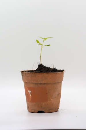 Small little tree plant in brown plastic pot isolated on white background.
