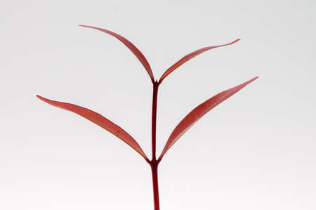 Red small leaf isolated on white background. Standard-Bild