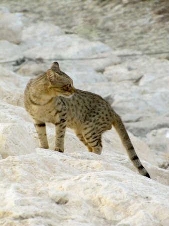 Cat like leopard