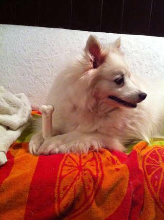 white dog: American Eskimo dog holding a bone