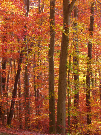 red trees during autumn  photo