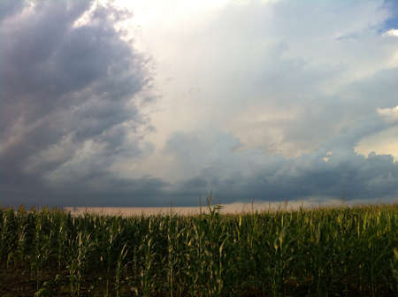 Corn field with cloudy sunset