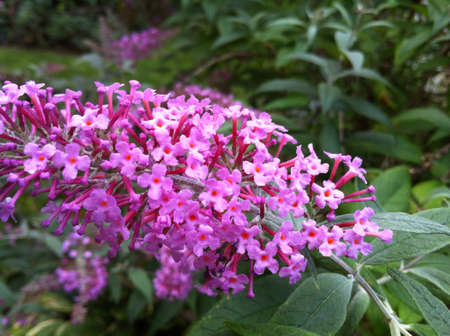 Butterfly bush close up