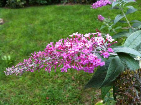 Pink butterfly bush close up