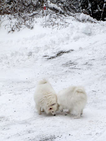 whittle: American Eskimo dogs playing in the snow