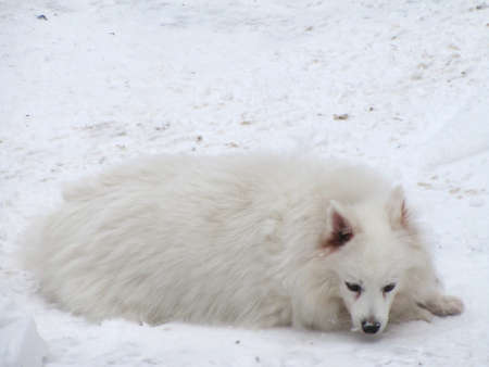 pappy: American Eskimo dog lying on the snow
