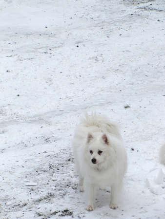American Eskimo dog standing on the snow