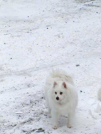 American Eskimo dog standing on the snow           photo