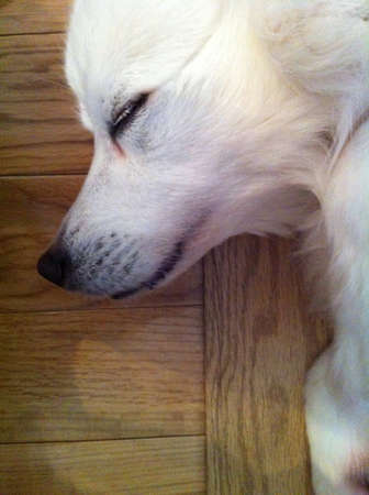 nose: American Eskimo dog lying down on the ground close up  Stock Photo