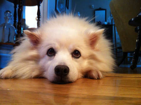 nose: American Eskimo dog lying down on the ground looking funny