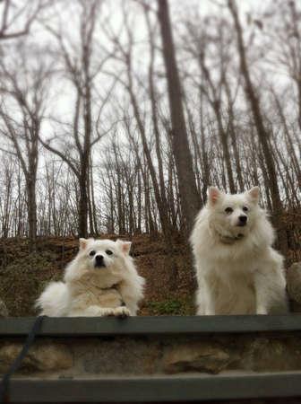 white dog: Eskimo dogs       Stock Photo