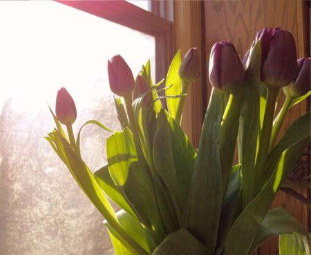 Purple tulips beside a window