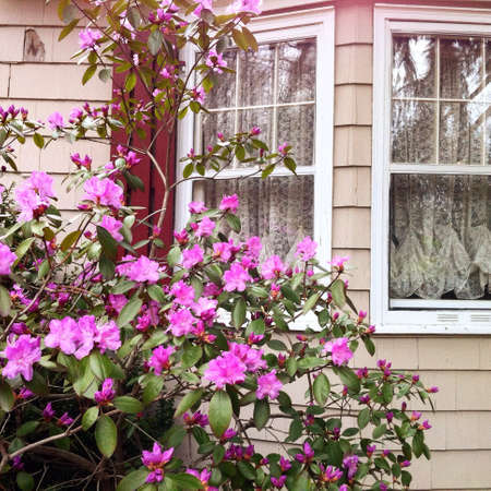 Pink flowers bush beside a house