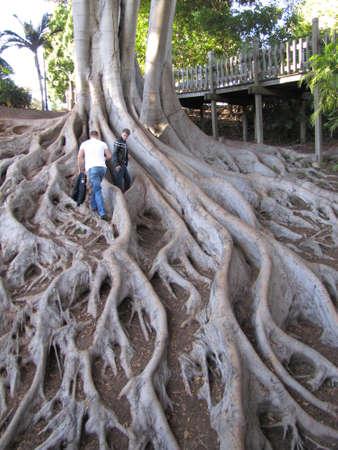 huge tree: huge tree roots in San Diego